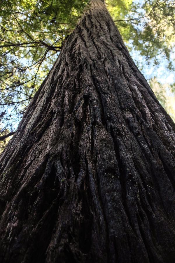 Loeb_redwoods-4809