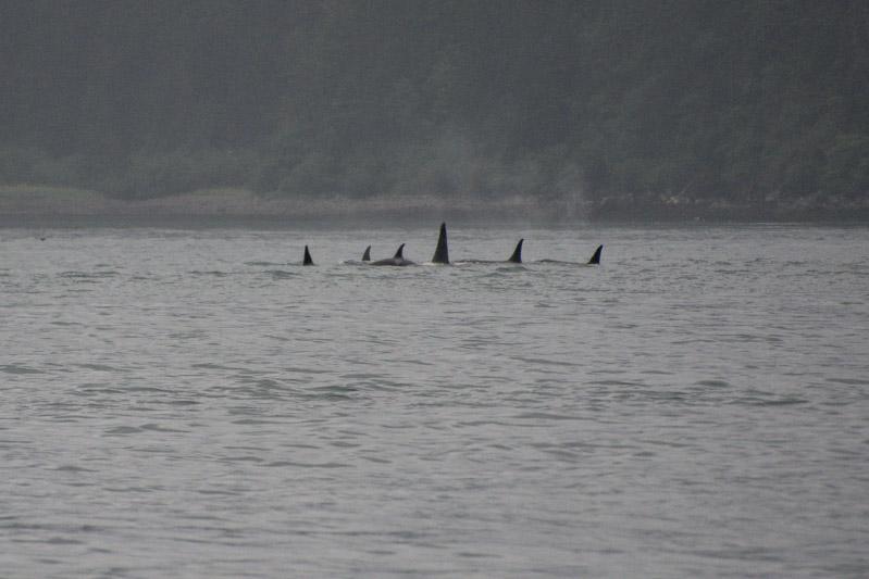 Orcas-8030